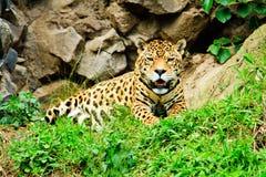 Jaguar resting after feeding Stock Photography