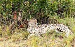 Jaguar resting Stock Photos