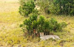Jaguar resting Royalty Free Stock Image