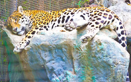 Jaguar. Is resting in park Stock Image