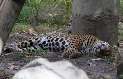 Jaguar resting under a tree royalty free stock photography