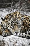 Jaguar on a river bank Stock Images