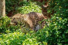Jaguar is roaring. Royalty Free Stock Photos