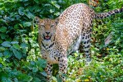 Jaguar is roaring. Stock Photos