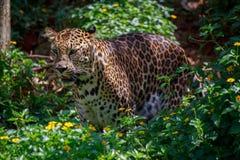 Jaguar is roaring. Royalty Free Stock Images