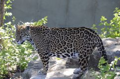 Jaguar on a rock2 Stock Photo