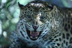 Jaguar rujir em Phnom Tamao Zoo Foto de Stock