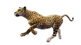 Jaguar running, wild animal isolated on white background Royalty Free Stock Image