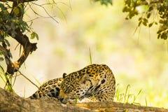 Jaguar salvaje dormido en sombra imagenes de archivo