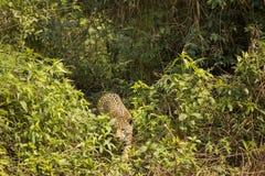 Jaguar salvaje que se esconde a través de selva Fotografía de archivo libre de regalías