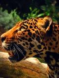 Jaguar. At the San Diego Zoo Stock Photos