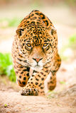 Jaguar sauvage agressif venant pour vous obtenir Photos stock