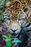 Jaguar sauvage dans la jungle de Belize Photos libres de droits
