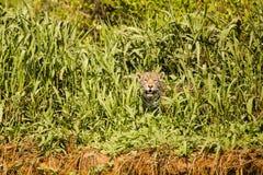 Jaguar sauvage jetant un coup d'oeil par des herbes sur la rive Photographie stock libre de droits