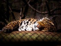 Jaguar-Schlafen Lizenzfreie Stockfotos