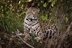 Jaguar se couchant dans la broussaille semble exact photographie stock libre de droits