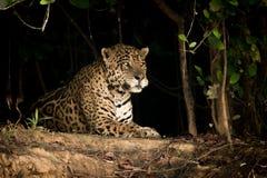 Jaguar se trouvant sur la banque de la terre dans les arbres image stock