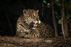 Jaguar se trouvant sur la banque de la terre sous des arbres photographie stock