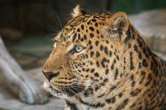 Jaguar, Seitenansicht der Nahaufnahme Lizenzfreies Stockfoto