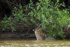 Jaguar selvagem no rio pela selva, teste padrão do couro cru da exibição da vista traseira Imagens de Stock