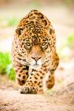 Jaguar selvaggio aggressivo che viene ad ottenervi Fotografie Stock