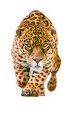 Jaguar selvaggio Cat Isolated On White Fotografia Stock Libera da Diritti