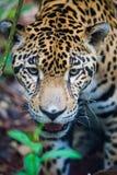 Jaguar selvaggio nella giungla di Belize Fotografie Stock Libere da Diritti