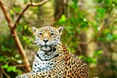 Jaguar sen na drewnianej podłoga w zoo fotografia stock