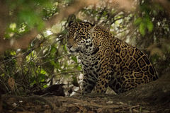 Jaguar sitting beneath trees in sunlit forest Stock Photography