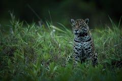 Jaguar sitting in tall grass facing left Stock Photos