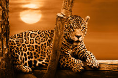 Jaguar sitting on a tree Stock Image