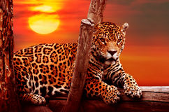 Jaguar sitting on a tree Royalty Free Stock Photos