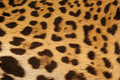 Jaguar skin. Great texture feline Royalty Free Stock Images