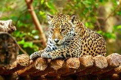 Jaguar sleep on wood floor in zoo Royalty Free Stock Photos