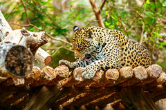 Jaguar sleep on wood floor in zoo Stock Photo