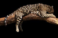 Jaguar sleeping Royalty Free Stock Photo