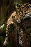 Jaguar sleeping on log closeup in jungle Stock Photography