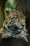 Jaguar sleeping on log closeup in jungle Stock Photos