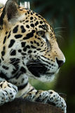 Jaguar sleeping on log closeup in jungle Stock Image