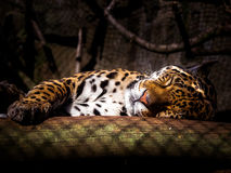 Jaguar Sleeping Royalty Free Stock Photos