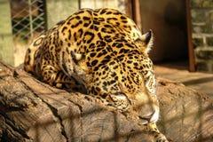 Jaguar sleeping Stock Image