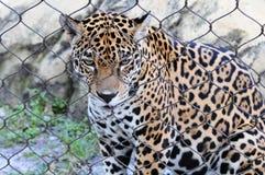 jaguar smutny Fotografia Royalty Free