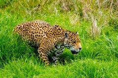 Jaguar sneaks through the grass. Jaguar sneaks through the high grass Royalty Free Stock Photography