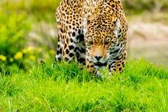 Jaguar sneaks through the grass. Jaguar sneaks through the high grass Stock Photo