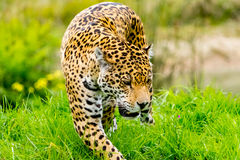 Jaguar sneaks through the grass. Jaguar sneaks through the high grass Stock Photography