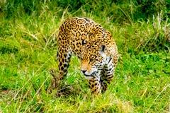 Jaguar sneaks through the grass. Jaguar sneaks through the high grass Royalty Free Stock Photos