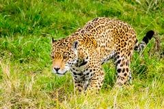 Jaguar sneaks through the grass. Jaguar sneaks through the high grass Royalty Free Stock Image