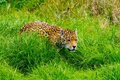 Jaguar sneaks through the grass. Jaguar sneaks through the high grass Stock Photos