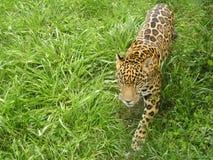 Jaguar snuffelt rond Stock Fotografie