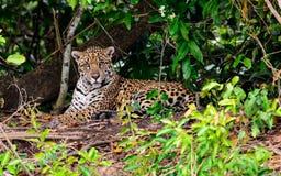 Jaguar som fast beslutsamt håller ögonen på Royaltyfri Fotografi